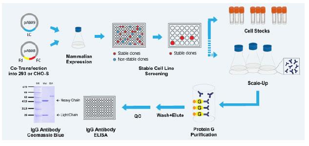 Custom Antibody | Antibody Service | Monoclonal Antibody